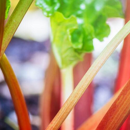 Rhubarb Growing in the Garden