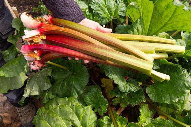 Fresh Picked Rhubarb Stalks