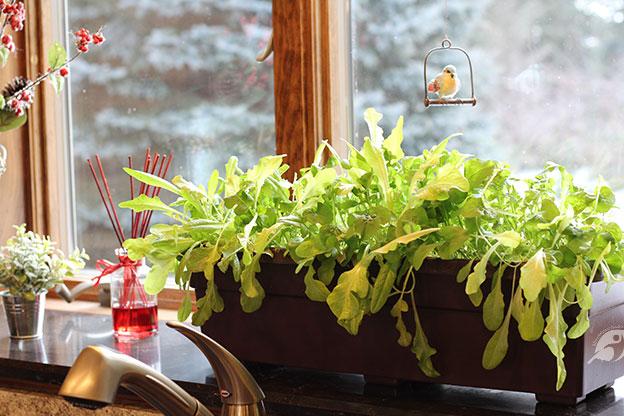 lettuce in a planter in a sunny window